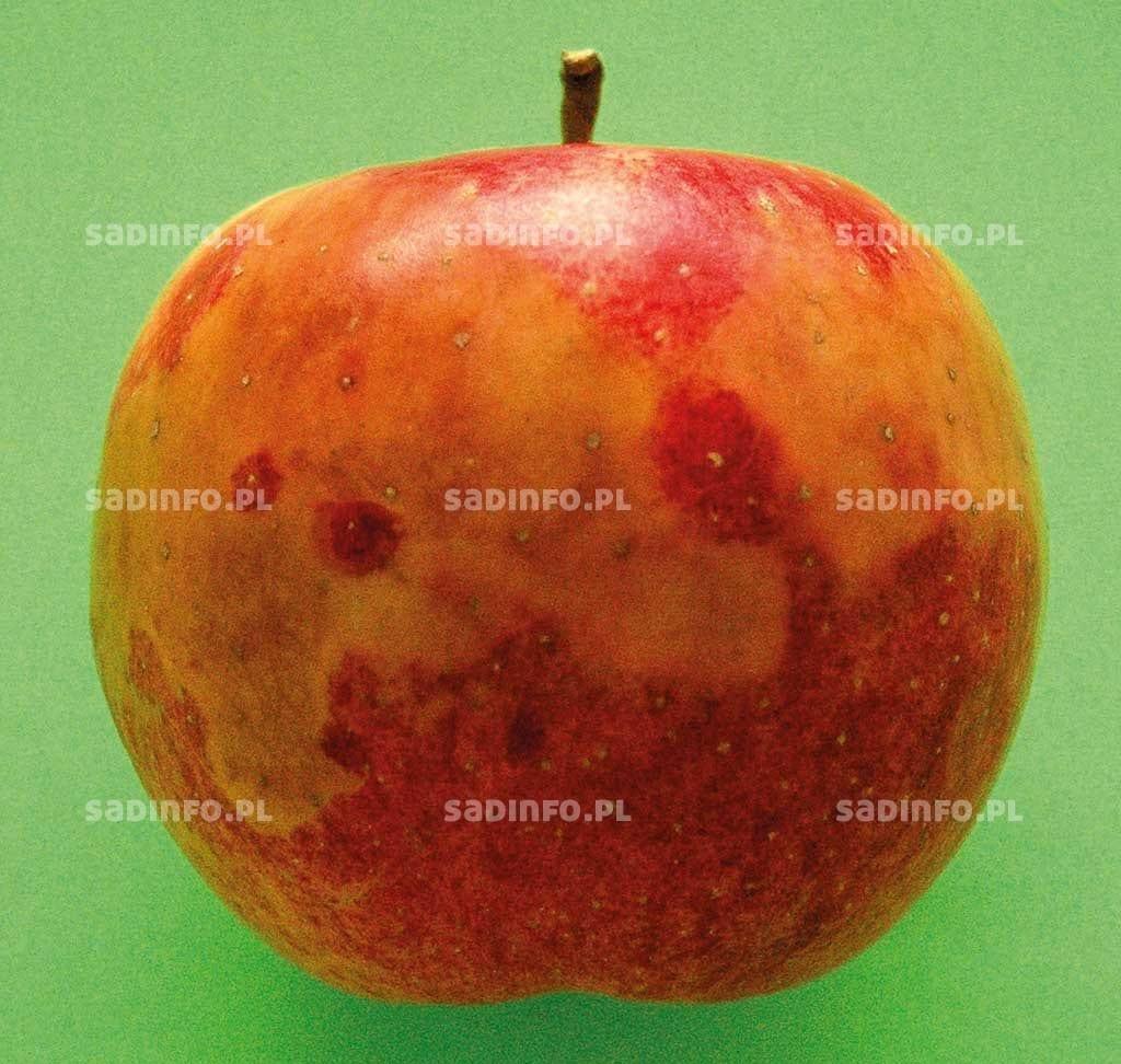 Fot. 11. Uszkodzenia owoców zbyt niskim stężeniem tlenu…