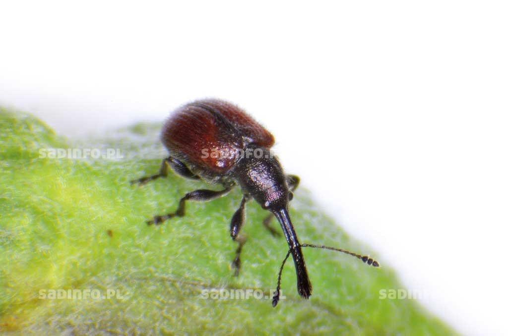 FOT. 1a. Tutkarz bachusek – chrząszcz ...