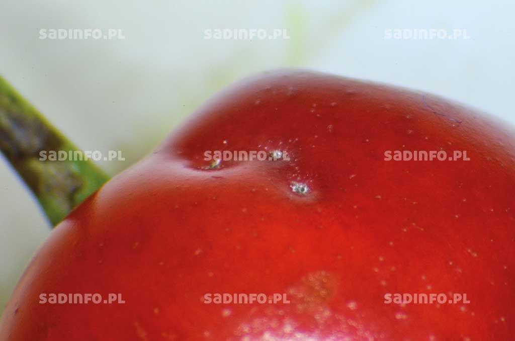 FOT. 2. Owoc wiśni uszkodzony przez chrząszcze tutkarzy