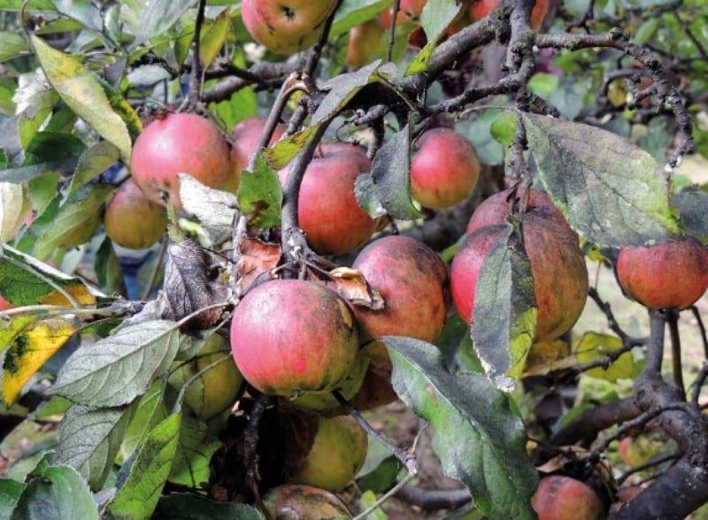 Fot. 12a. Bielik klonowiec – poczerniałe owoce, pędy i liście w wyniku żerowania szkodnika