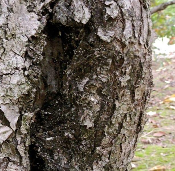 Fot. 12b. Bielik klonowiec – białe kokony – gniazda