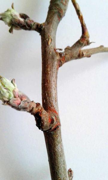 Fot. 2a. Jeśli w ub.r. nie wykonano zabiegu zwalczającego przędziorki przed kwitnieniem...