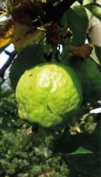 Fot. 4.b Mszyca jabłoniowo-babkowa – uszkodzony owoc