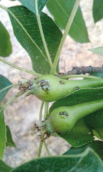 Fot. 7b. Pod koniec maja 2018 r. larwy pierwszego letniego pokolenia miodówki gruszowej były już w 2. i 3. stadium larwalnym