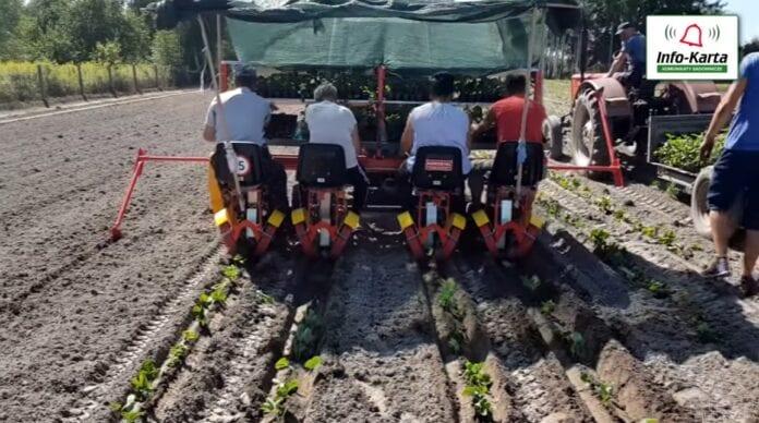 Zakładanie plantacji truskawek
