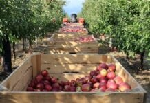 zbiory jablek w rosji