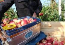 zbiory jabłek 2020