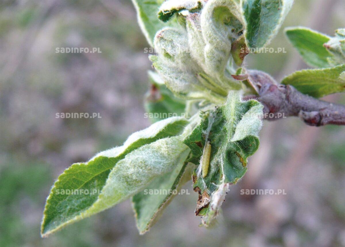 FOT. 1. Gąsienica zwójkówki po przezimowaniu uszkadza podczas żerowania rozwijające się pąki