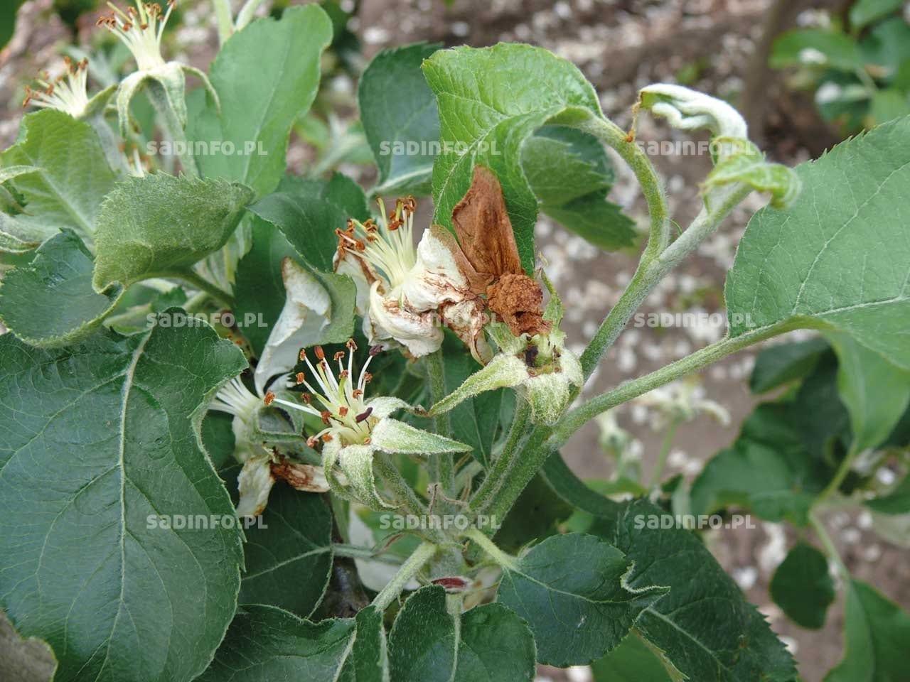 FOT. 2. Kwiaty jabłoni uszkodzone przez zwójki liściowe
