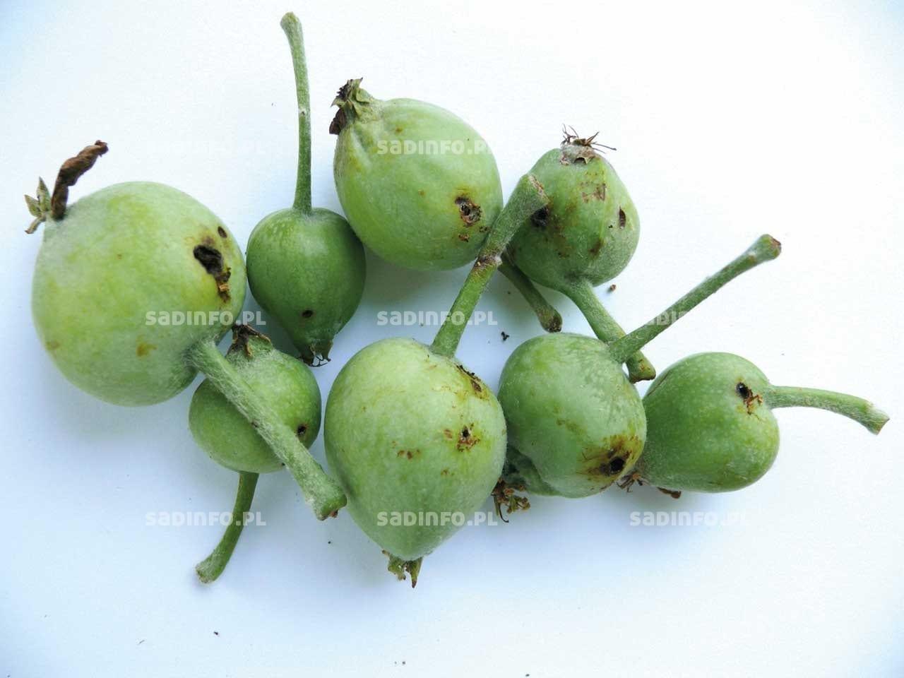 FOT. 6a. Zawiązki jabłek uszkodzone przez owocówkę jabłkóweczkę
