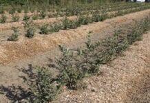Borówka wysoka: odmiany, ochrona, agrotechnika i nawadnianie