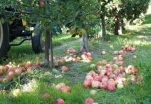 ceny jablek przemyslowych