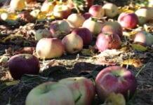Ceny jabłek przemysłowych – wolny rynek czy spekulacja?