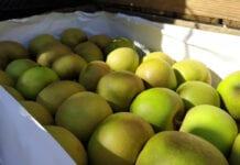 ceny jablek szara reneta