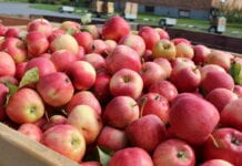 jabłka na soki