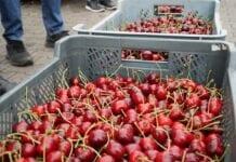 Rynek wiśni i czereśni w UE