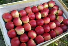 Na Broniszach duża podaż jabłek – jakie ceny?