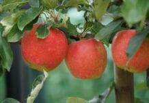 zbiory jabłek 2020 szacunki gus