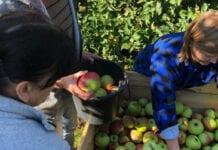 zbiory polskich jabłek
