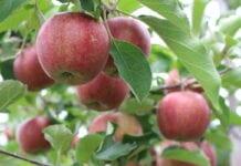 Belgia: Dobre zbiory gruszek, ale znacznie mniej jabłek