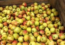 jabłka w Lidlu