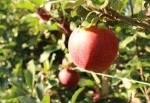 produkcja jabłek