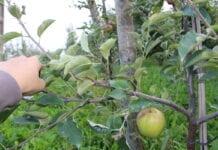 Kradzieże jabłek w powiecie grójeckim