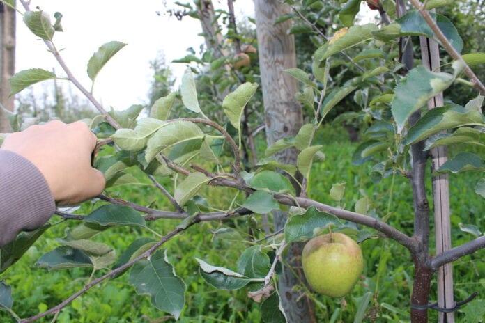 skradzione jabłka