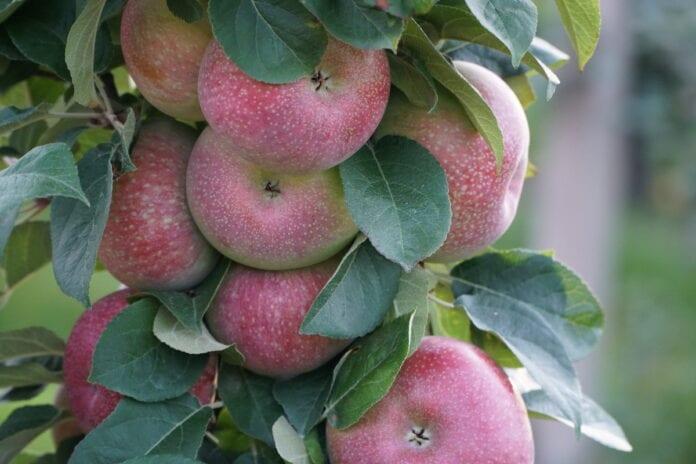 Lobo odmiana jabłoni