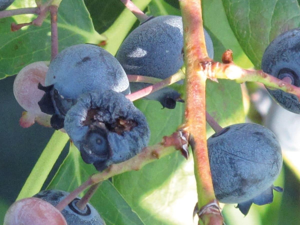 Owoce borówki uszkodzne przez muszkę plamoskrzydłą Drosophila Suzuki