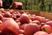ceny jabłek 2020