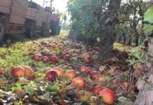 Ceny jabłek przemysłowych: Niektóre skupy oferują już 55 groszy