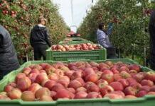 Ceny jabłek deserowych u pośredników – 19 października 2020