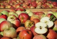 Ceny jabłek przemysłowych w Polsce, Chinach i USA, a globalny rynek koncentratu