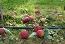 Czy przetwórcy zdążą kupić tyle jabłek, ile im potrzeba?