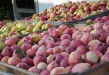 cny jabłek przemysłowych