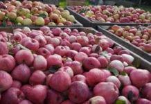Jabłka przemysłowe – nieścisłości w unijnym raporcie