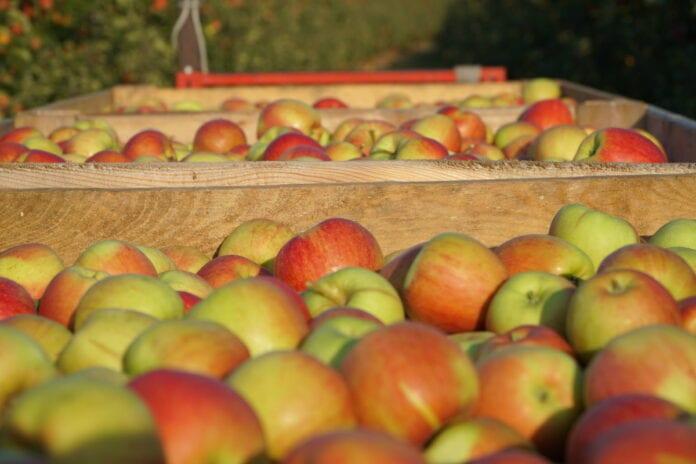 jabłka w skrzyniach