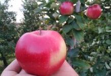 Jabłko nie jest lekarstwem na Covid-19. Ale jest zdrowe i wzmacnia odporność