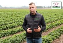 Ochrona i nawożenie plantacji truskawek jesienią – komunikat jagodowy Agrosimex, 02.10.2020