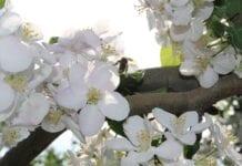 kwitnienie sadu
