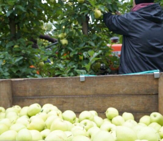 Pracownicy sezonowi okradli sadownika