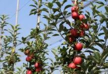 zagrożenie rozwój sadownictwa na wschodzie