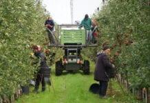 Ostatnia prosta w zbiorach jabłek przy dobrej pogodzie