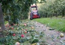 zbiory jabłek w sadach
