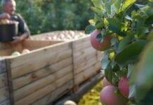 Z czego wynikają niskie ceny jabłek na obieranie?