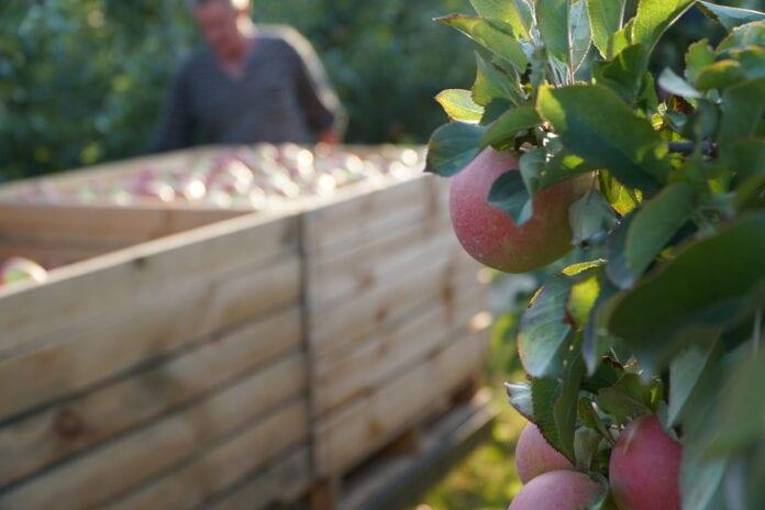 zbiory jablek na ukrainie