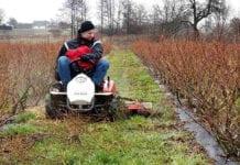 Sprawne mechaniczne odchwaszczanie młodej plantacji borówek