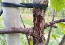 choroby kory i drewna