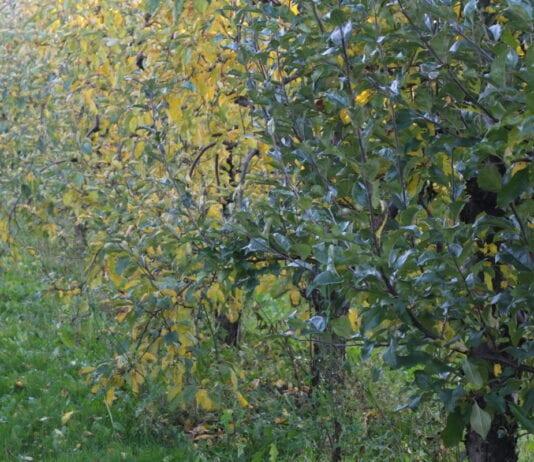 Jesienne cięcie korzeni w sadach jabłoniowych